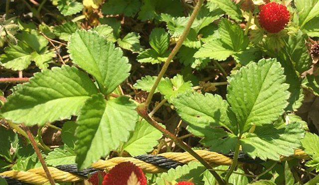 町内の草刈り、一斉掃除の朝、木漏れ日の薮の下にヘビイチゴの赤い点々、、、 (from Instagram)
