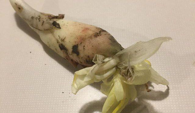 畑から採りたての花の咲いた茗荷をいただいた。めっちゃ美味しそうで、きっといい香りに違いない。ただ、どうやって食べよう、、、 味噌汁に入れるか?  一個だけど酢漬けにするか? (from Instagram)